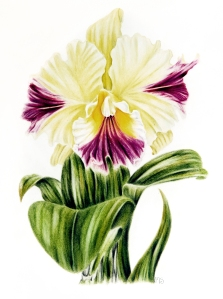 Cattleia Orchid (Snap Studio)