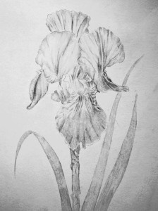 Iris in pen & ink Drawing Graphite