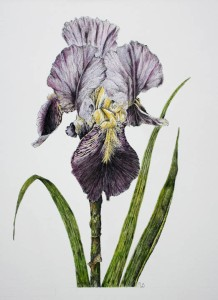 Iris in pen & ink Watercolour 5