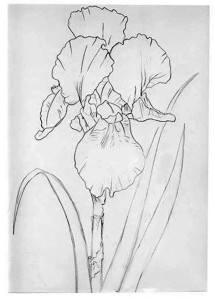iris-in-pen-ink-line-drawing
